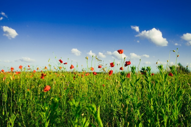 Poppies field view