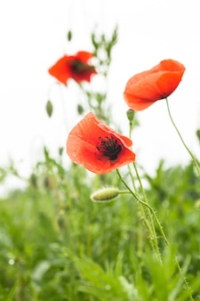 Poppies field over white background for design