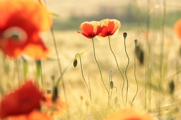 夜明けの野原のポピー