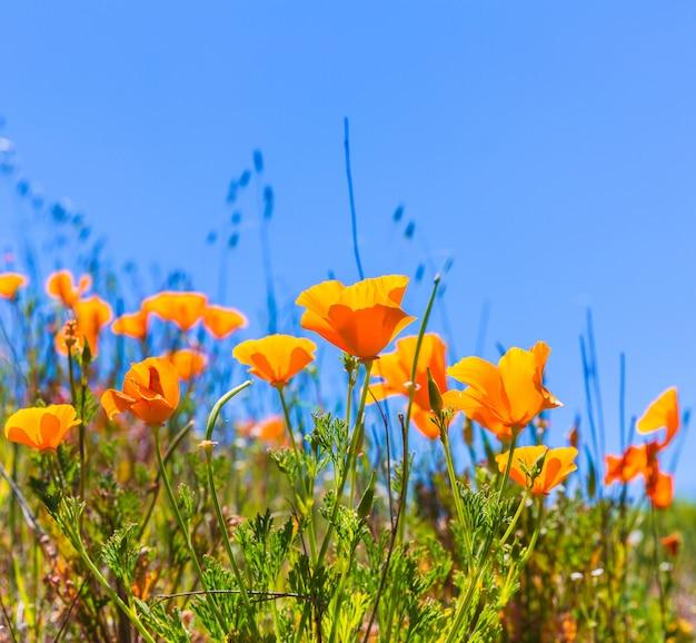 カリフォルニアの春の野でオレンジ色のケシのケシの花