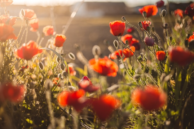 Poppies at sunset a summer day