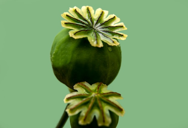 Poppy box, macro photography. floral concept.