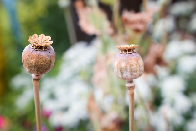Бутоны мака с семенами крупным планом на открытом воздухе растения, из которого получено наркотическое вещество