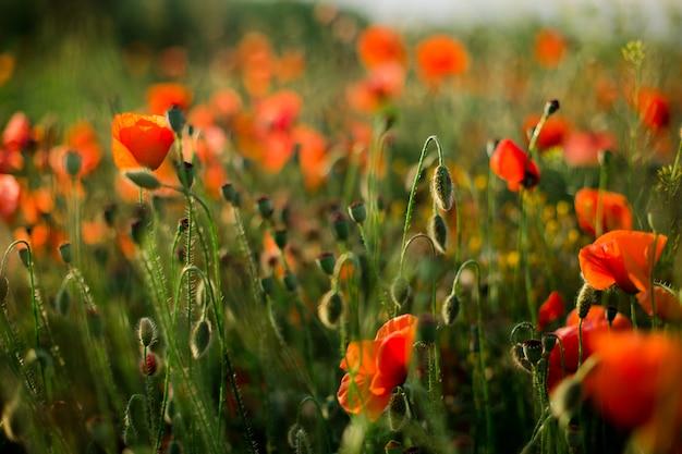 Poppy field close-up