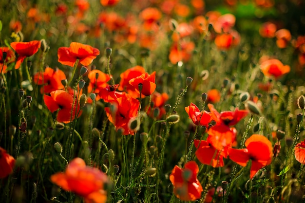 Poppy field close-up