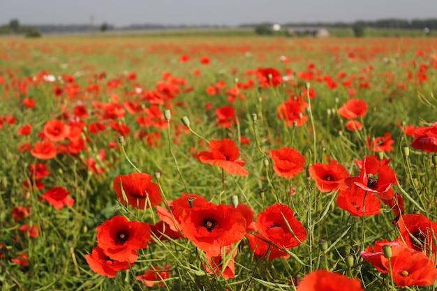화창한 여름날 양귀비 밭 자연과 풍경 선택적 초점