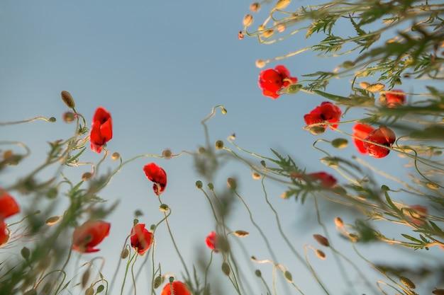 양귀비 필드, 양귀비 꽃과 줄기. 하늘 배경.