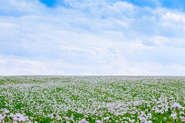 Poppy field. white opium poppy blossom in the czech republic.