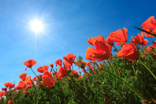 Poppy field and wild flowers in sunlight under a blue sky