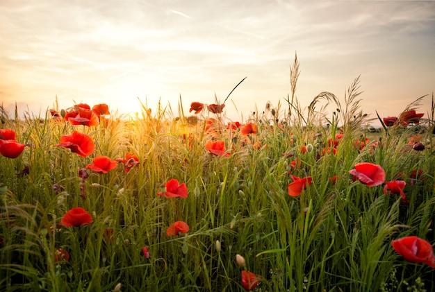 ポピー畑と日没の風景。野生の花と美しい自然の夏の景色