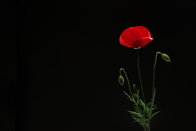 Poppy flower on black isolated