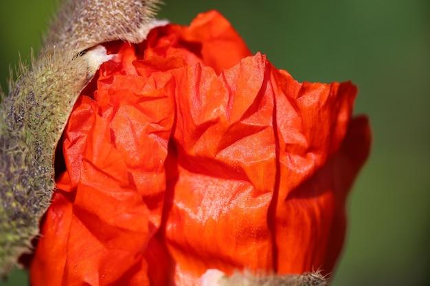 연약한 생생한 붉은 꽃잎으로 열리는 양귀비 꽃봉오리