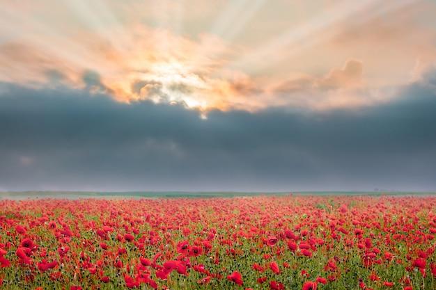 日の出の間にケシの花。ケシ畑の上の暗い雲。ケシの花の上に暗い雲を突き抜ける太陽光線