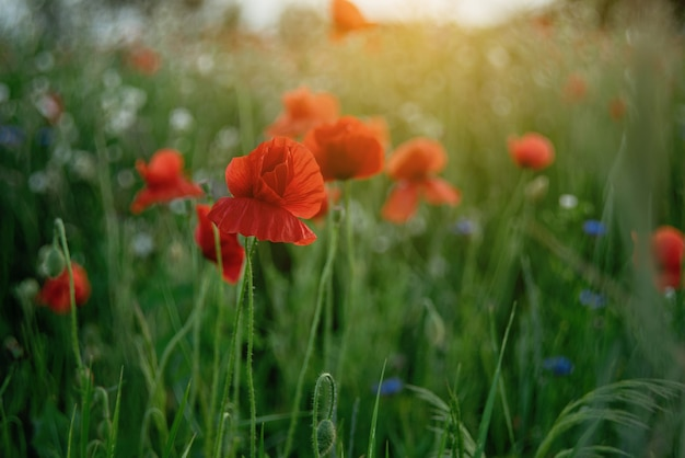 Весна природы поля цветков мака. символ памяти цветущих маков. день перемирия или день памяти
