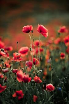 自然の中でケシの花