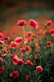 Poppy flowers in nature