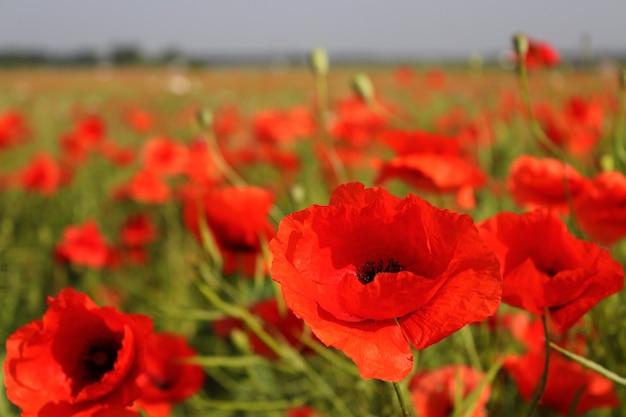 화창한 여름날 양귀비 밭에 양귀비 꽃 자연과 풍경 선택적 초점