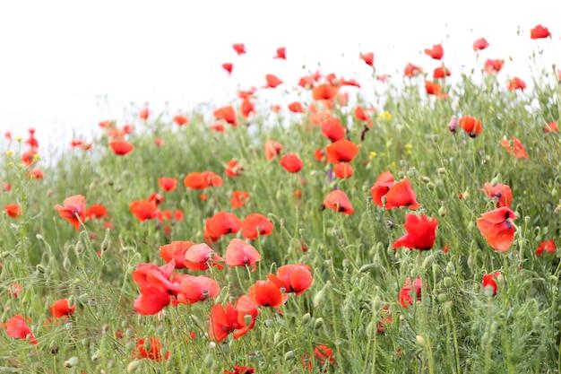 Цветы мака, на открытом воздухе