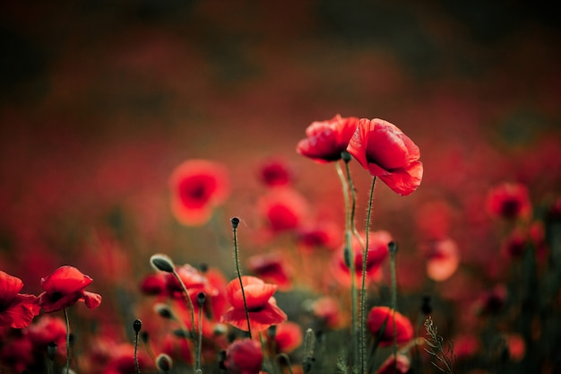 Poppy flowers in summer
