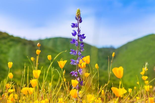 カリフォルニア西部のケシの花黄色ポピー
