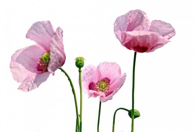 Poppy flowerses on white background