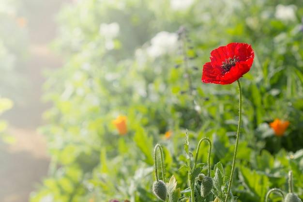 Poppy in the garden (papaveraceae)