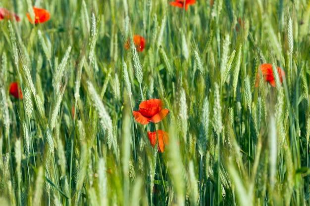Мак в поле - цветущий красный мак, растущий на сельскохозяйственном поле, где выращивают пшеницу.