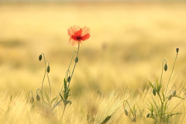 夜明けの野原でポピー
