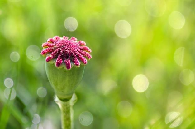 Капсула макового семени в макросе, как голова с фиолетовой прической, копией пространства