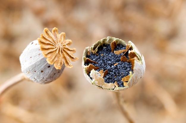 Семена мака внутри растения в урожае