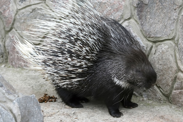 돌의 배경에 고슴도치입니다. 포유류의 동물학 및 동물군