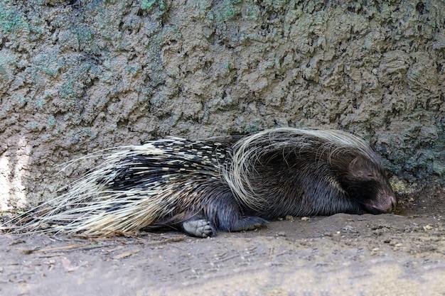 Дикобраз спит