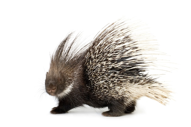 Porcupine on white