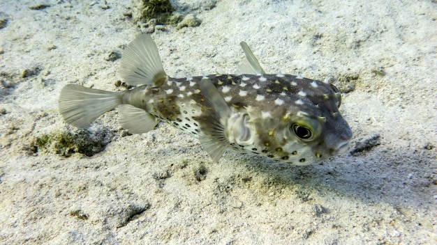 홍해, 에일랏, 이스라엘의 고슴도치 diodon nicthemerus 물고기