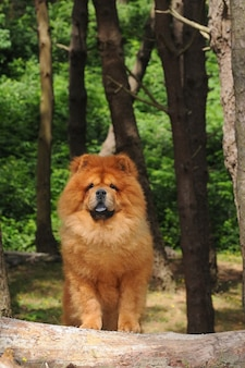 Portait of chow chow dog