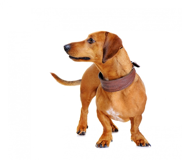 Portait of a dachshund dog looking to the side