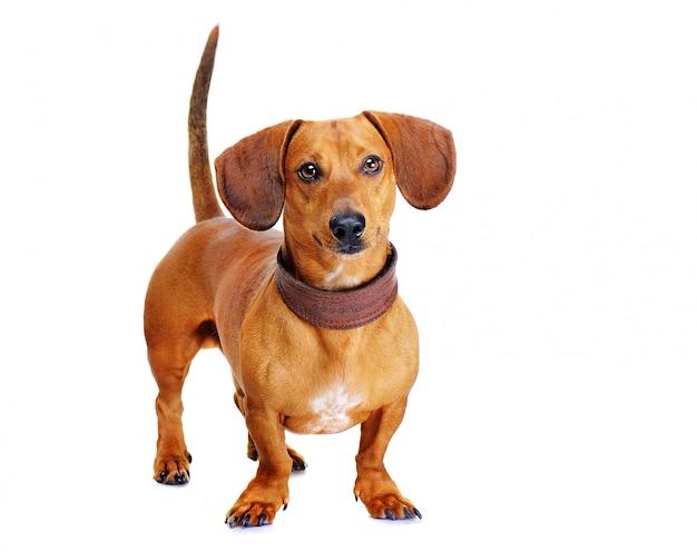 Portait of a dachshund dog