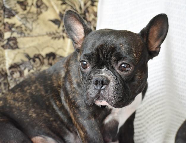 フレンチブルドッグの品種の美しい犬の肖像画。