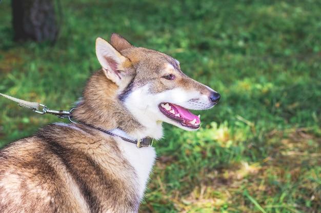 Портрет собаки породы западно-сибирская лайка крупным планом в профиль
