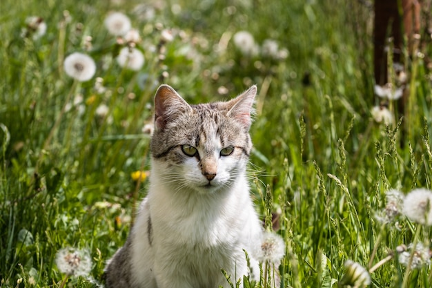 Portrait of an adorable domestic cat sitting in the green field with blowballs