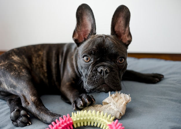 Portrait of adorable little french bulldog