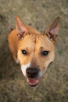 Portrait of adorable pitbull dog