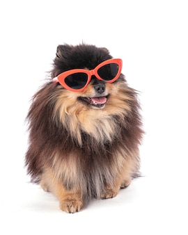 Portrait of an adorable pomeranian bicolor with glasses on a white isolated