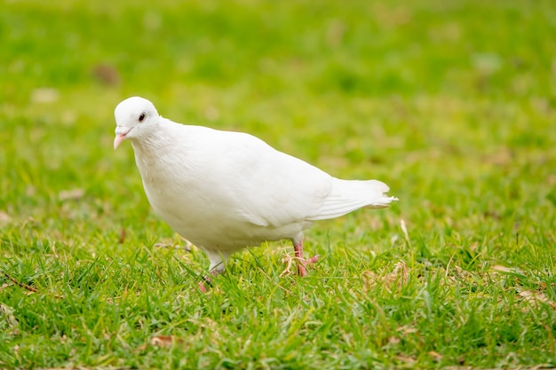 Ritratto di un adorabile piccione bianco nel campo verde