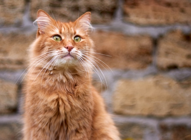 Portrait of an adult fluffy red cat with green eyes