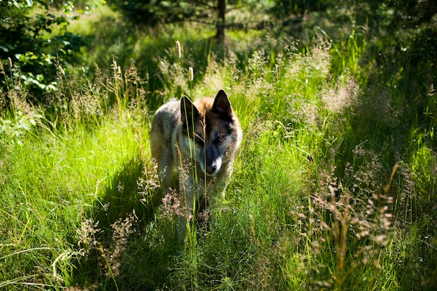 Portrait of an adult and a very intelligent dog on the nature. mixed shepherd and husky.