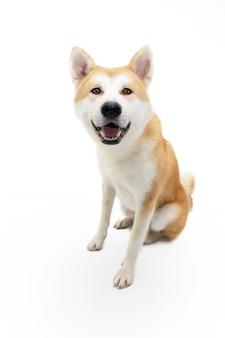 세로 아키타 개가 앉아서 머리를 기울이고 있습니다. 흰색 표면에 절연