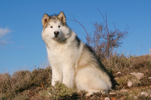 Portrait of alaskan malamute dog