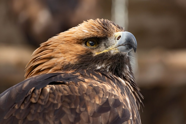 Portrait of an alert golden eagle sitting on the ground. natural close-up of a bird of prey. vulture or hawk.