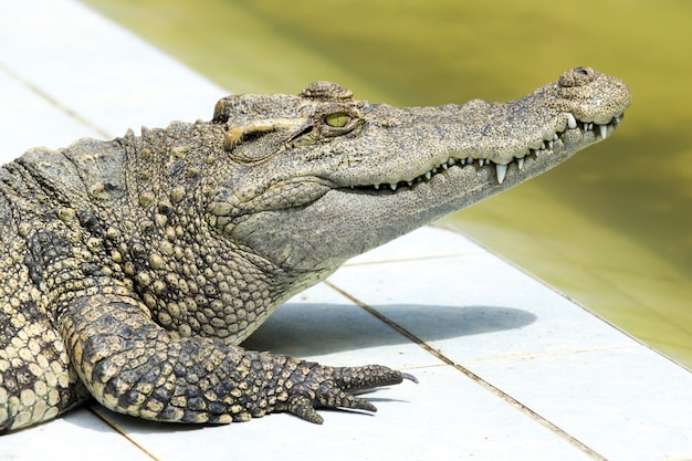 Portrait of alligator